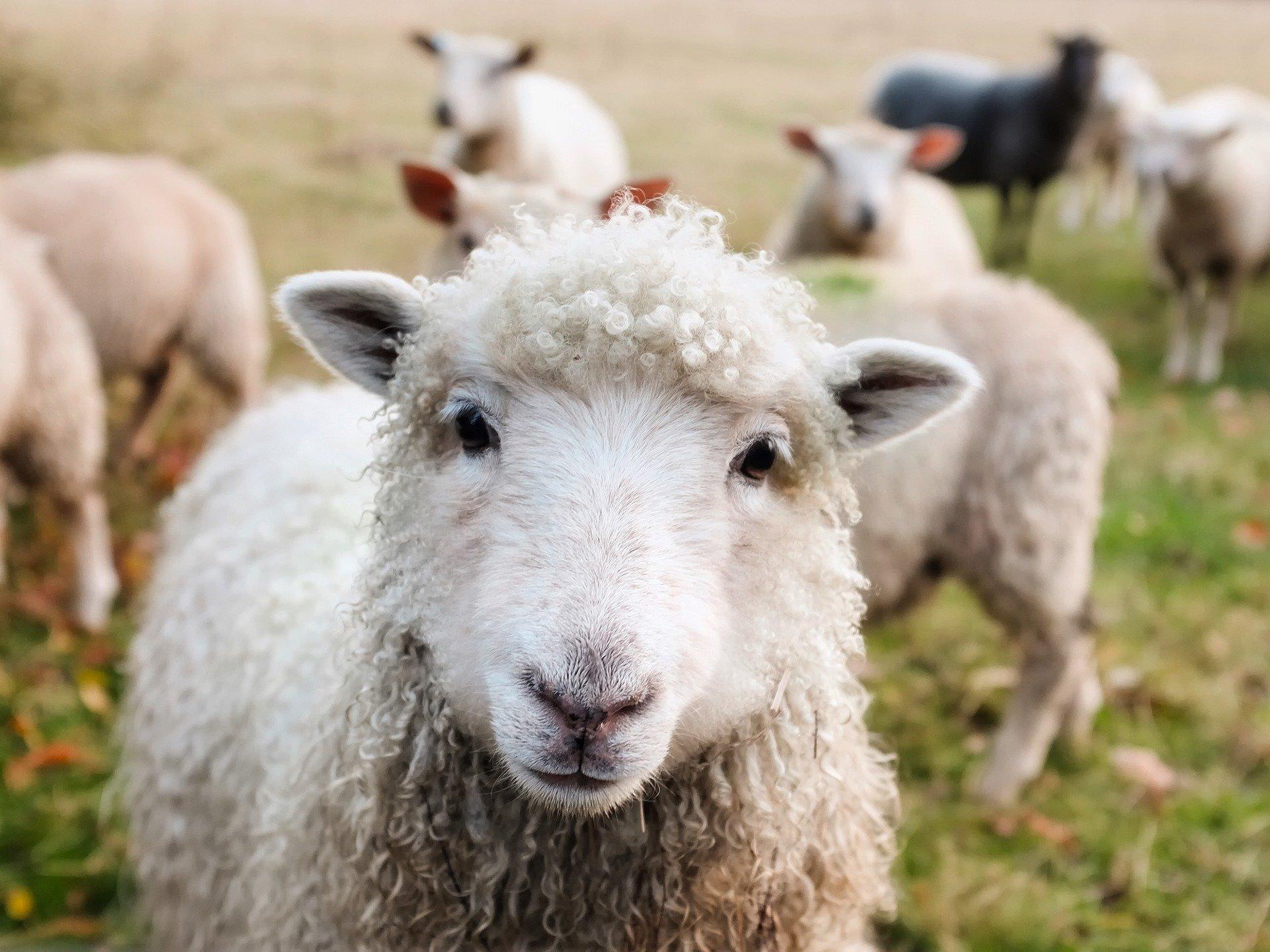 herd-sheep-probability